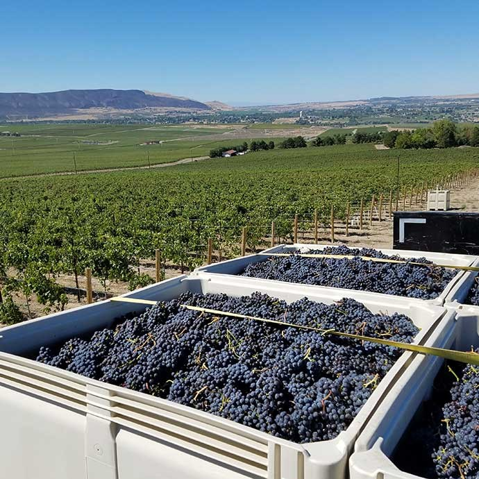 Bins of grapes being transported on Red Mountain